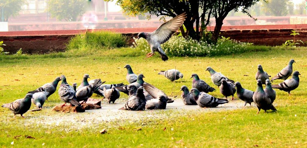 Ananya Majumdar(LTEN)-Pigeons at Red Fort