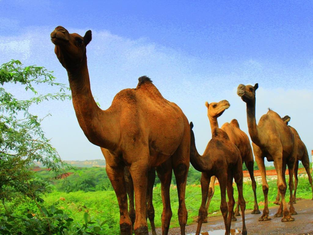 Ananya Majumdar (LTEN, Faridabad) Camels- a flavor of Rajasthan