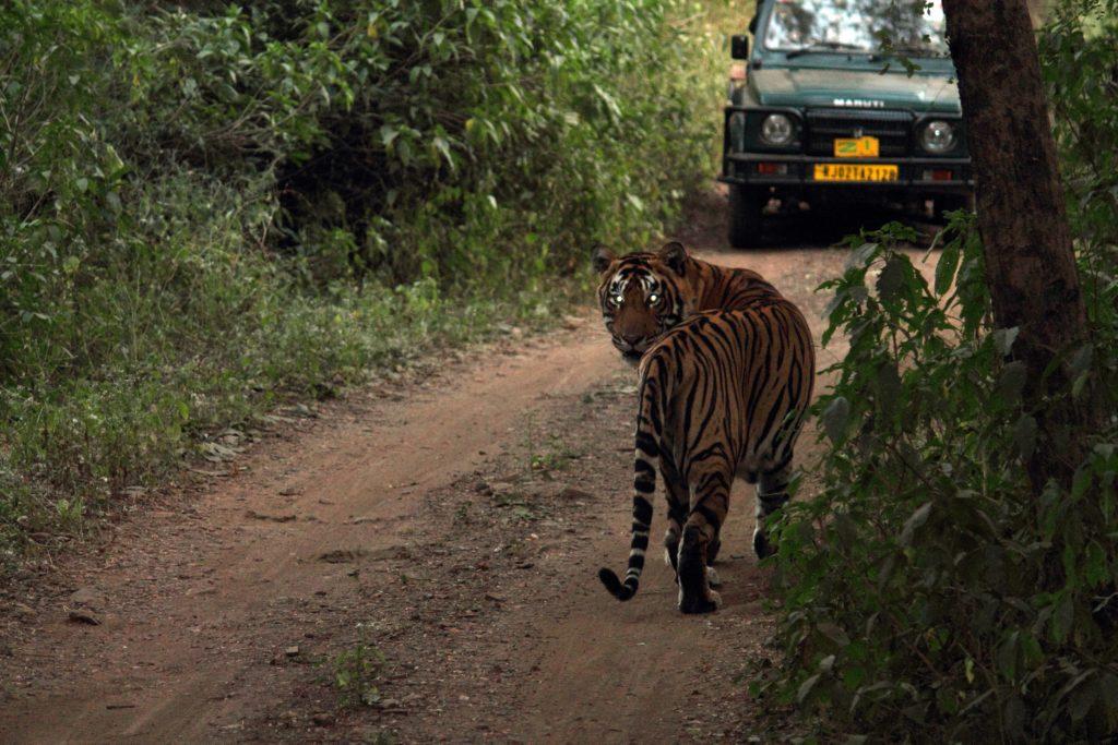 sariska-tiger-killer-looks-anjan-majumdar-lmb
